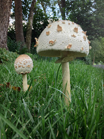Amanita citrina (False Death Cap mushrooms)
