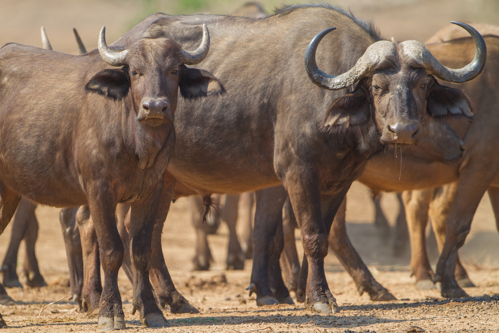 African Buffalo, Lower Zambezi National Park, Zambia