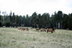 Elk herd, Paseo del Lobo July 13-15 (Photo by D. Sayre)