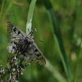Parnassius phoebus phoebus FABRICIUS, 1798. Shebalino (900 m), 6 juillet 2010. Photo : B. Lalanne-Cassou