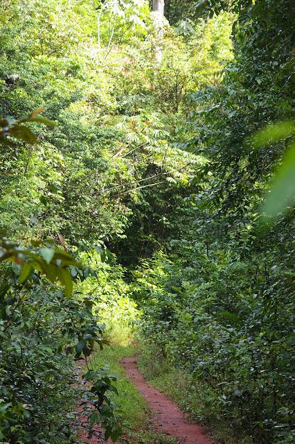 Layon près de Camp Patawa, Montagne de Kaw (Guyane) : lieu de passage de Morpho menelaus, M. telemachus, M. hecuba, M. deidamia et M. achilles. 15 novembre 2011. Photo : J.-M. Gayman