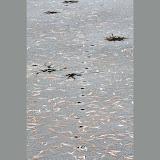 Animal-tracks-on-thin-ice_MG_2818-copy.jpg