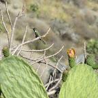 Kaktus mit Kolibri