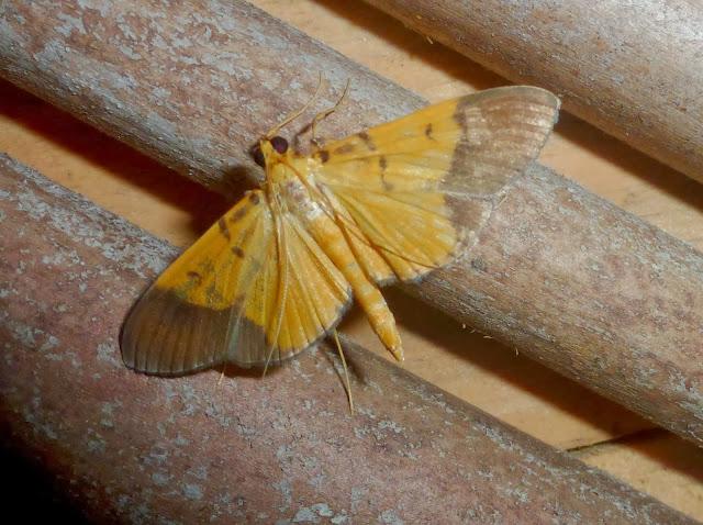 Crambidae : Spilomelinae : Botyodes sp. (?). Parc de Mantadia, 900 m (Madagascar), 27 décembre 2013. Photo : T. Laugier