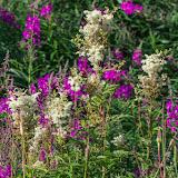 Иван-чай узколистный (Chamerion angustifolium) и Таволга вязолистная (Filipendula ulmaria)