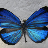 Epimastidia mastrigti SCHROEDER, 2010, recto. Capturé le 16 août 2009 à Air Garam (Kurulu, Yiwika, 1600-1800 m), Baliem Valley, Papua. Photo : J. Marquet