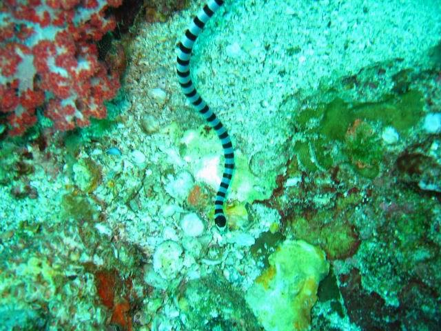 Photo: Serpent Cobra de mer aux Mergui