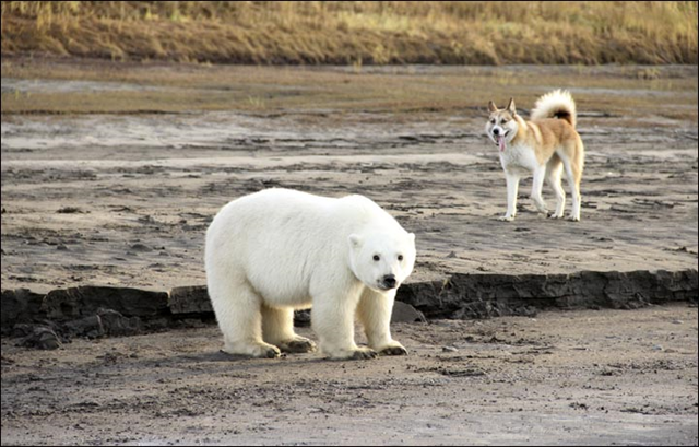 This polar bear and its lost mother wandered some 700 km too far south 'because they couldn't go north'. She had taken up residence near a fishing plant on the Kolyma River, where locals fed her on throwaway fish.Photo: Ministry of Nature Protection of Yakutia