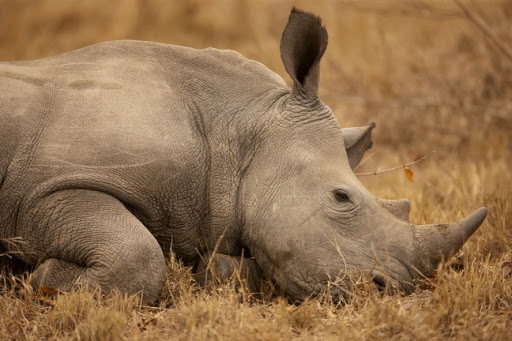Rhino down. Photo by Beverly Joubert