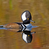 Hooded Merganser (Karl Egressy)