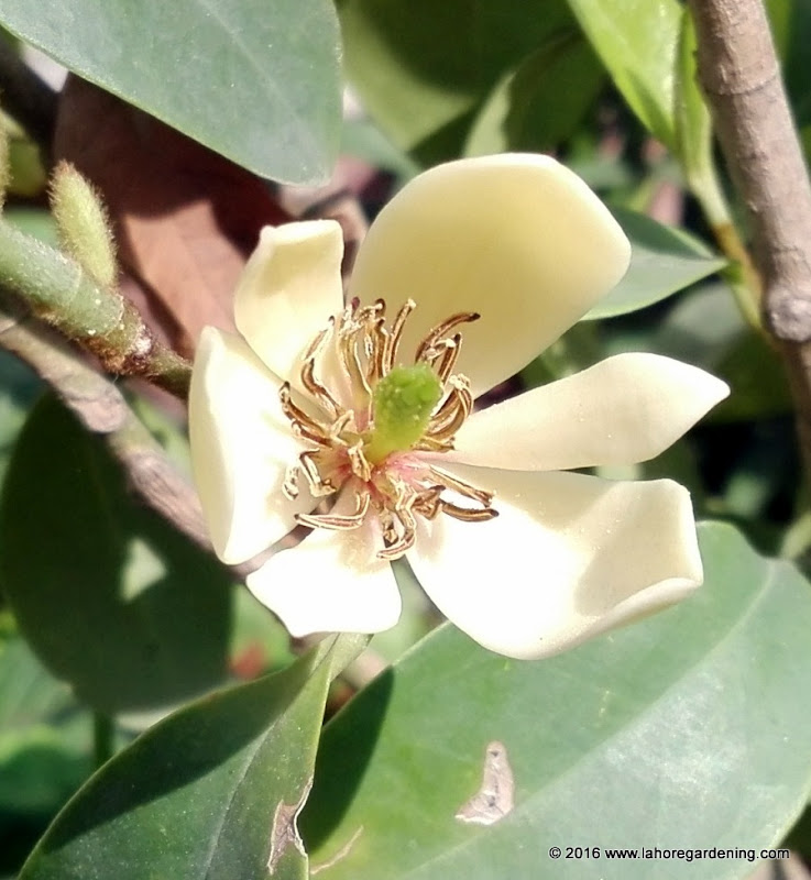 Banana shrub Magnolia Figo