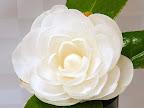 白色 千重〜宝珠咲き 中輪