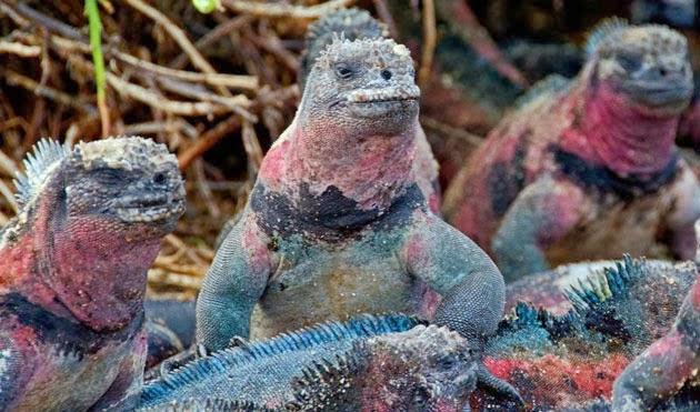Marine Iguana on Genovesa Island,  Galapagos Islands.
