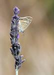 Vandreblåfugl, boeticus på lavendel.jpg