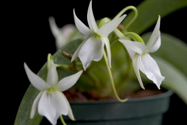 Растения из Тюмени. Краткий обзор Angraecum%25252520leonis