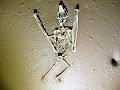 Bat skeleton in 1954 | photo © Pete Hall
