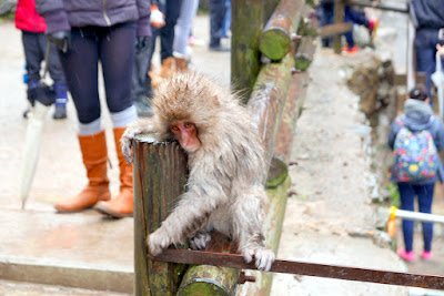 The Snow Monkeys of Jigokudani Yaen Koen Monkey Park