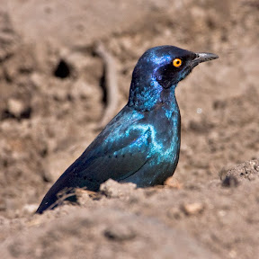 Cape Glossy Starling, South Africa