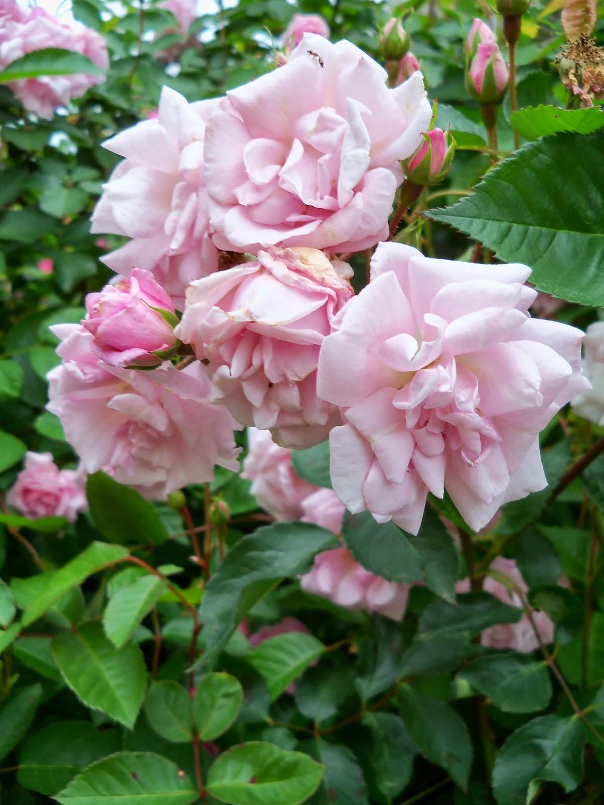 Gardening 2014 - 116_1503.JPG