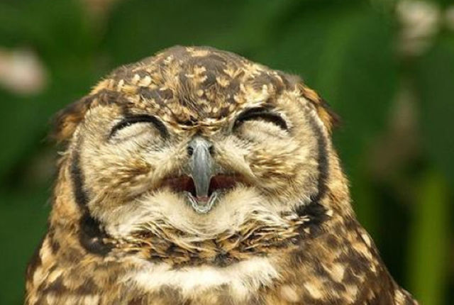 Owls Are Laughing Seen On www.coolpicturegallery.us