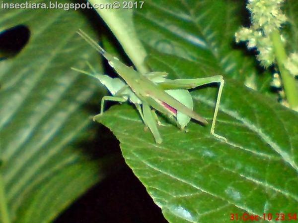 nimfa belalang Atractomorpha screnulata kawin_3