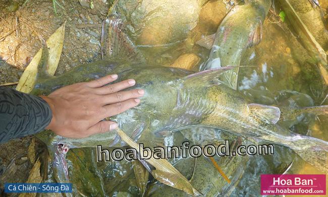 Cá Chiên - Sông Đà - Goonch Fish - 5
