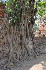 A sculpture of Buddha's head amongst the roots of a Bodhi tree.