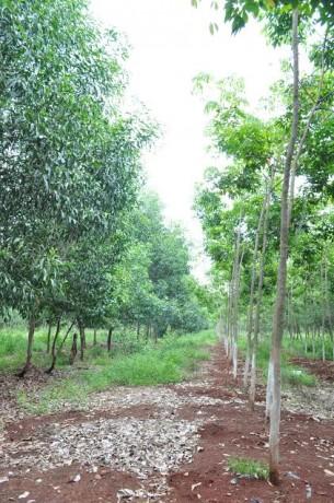 Trồng xen canh cây lâm nghiệp tại Công ty TNHH MTV Cao su Lộc Ninh. Ảnh: Lâm Khanh