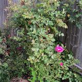 Gardening 2011 - 100_7066.JPG