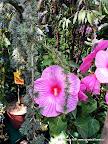 Hibiscus 'Winter Hardy'