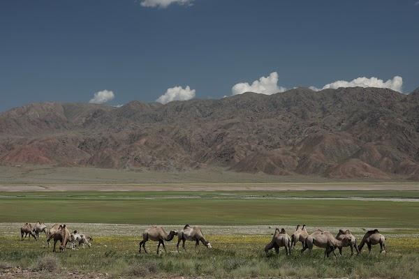 Kamele am Orto-Tokoy See
