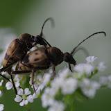 Lepturinae : Pachytodes cerambyciformis (SCHRANK, 1781). Les Hautes-Lisières (Rouvres, 28), 11 juin 2012. Photo : J.-M. Gayman