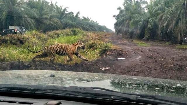 Sungguh Berani, Pria ini Usir Harimau yang Menyerang Kerbau Ternak