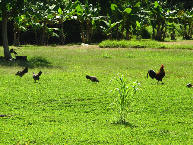 de-ale găinilor