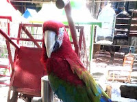 Macaw Green Wing