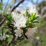 Tick Bush (Kunzea ambigua) in bloom (218018)