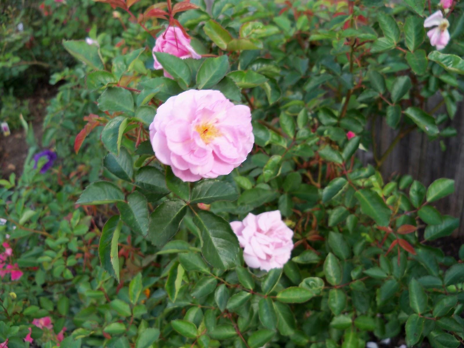 Gardening 2011 - 100_6955.JPG