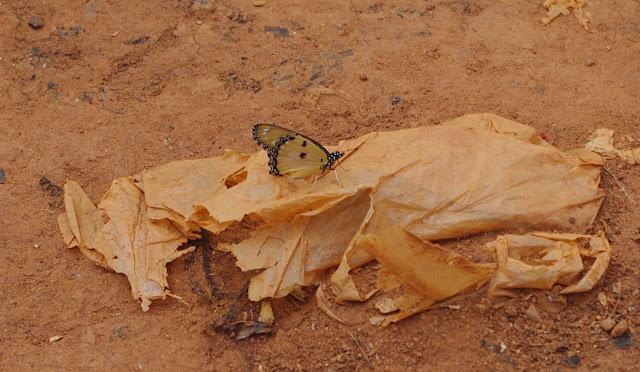 Danaus chrysippus alcippus CRAMER, 1777. Mont Fébé Village, Yaoundé (Cameroun), 11 avril 2012. Photo : J.-M. Gayman