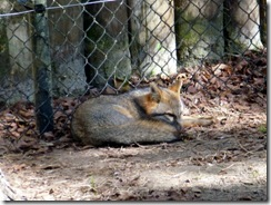 Gray Fox napping