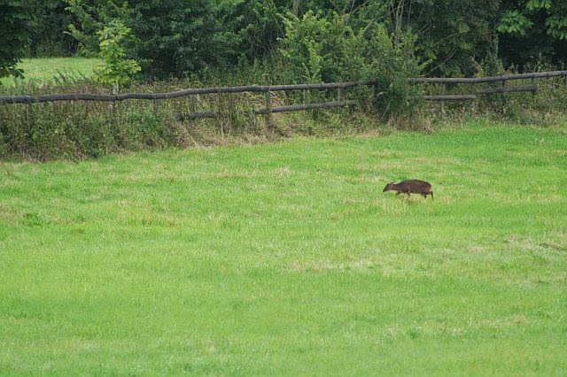 Woodhurst Wildlife Muntjac In The Grassfield - muntjac05.jpg