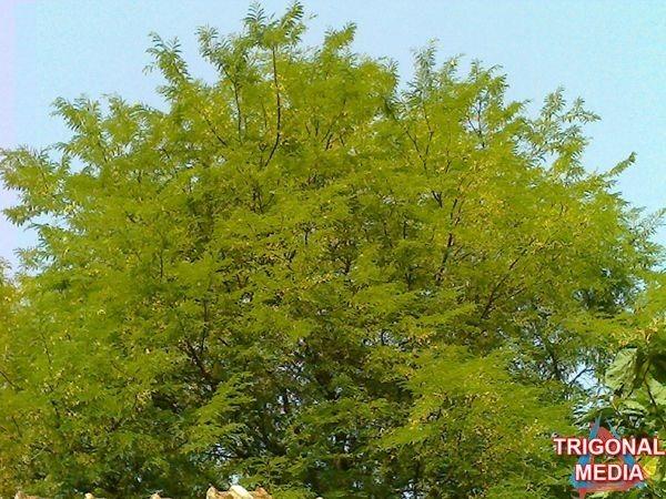 Pohon (www.trigonalmedia.com)