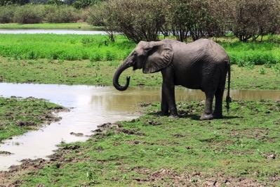 Elephant Drinking 2