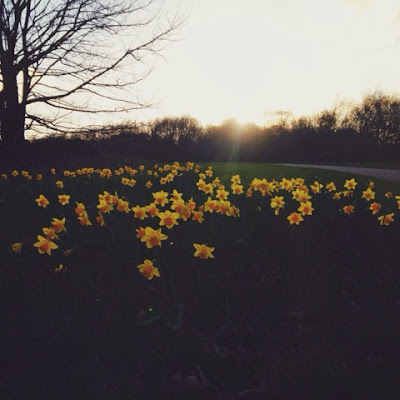 Donmouth nature reserve - spring sunset daffodils