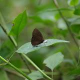Probablement Bicyclus sandace HEWITSON, 1877, mâle. Ebogo (Cameroun), 9 avril 2012. Photo : J.-M. Gayman