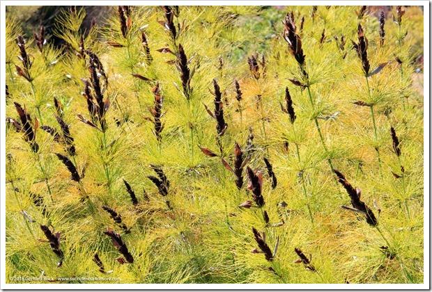 160813_UCSC_Arboretum_Elegia-capensis_001