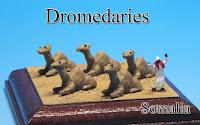 Dromedaries ‐Somalia‐