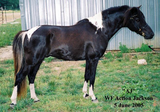 AJ - WF Action Jackson - 1992 homozygous black tobiano stallion