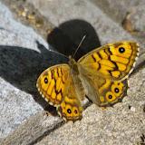 Lasiommata megera (L., 1767), femelle. Les Hautes-Courennes (558 m), Saint-Martin-de-Castillon (Vaucluse), 10 mai 2014. Photo : J.-M. Gayman