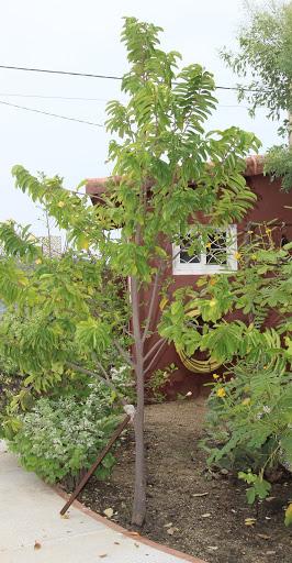 Annona muricata - corossolier IMG_6849