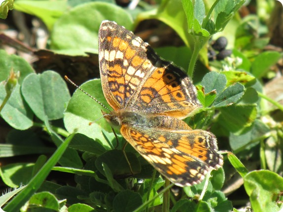 11 Withlacoochee Trail - Phaon Crescent - Phyciodes phaon Butterfly (1)